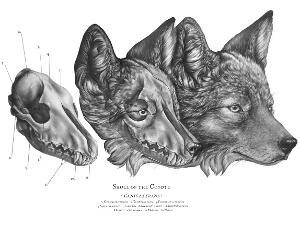 Study of Wolf Head