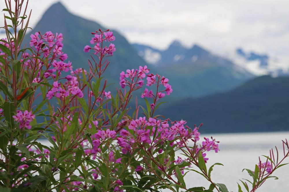 fireweed before mountains