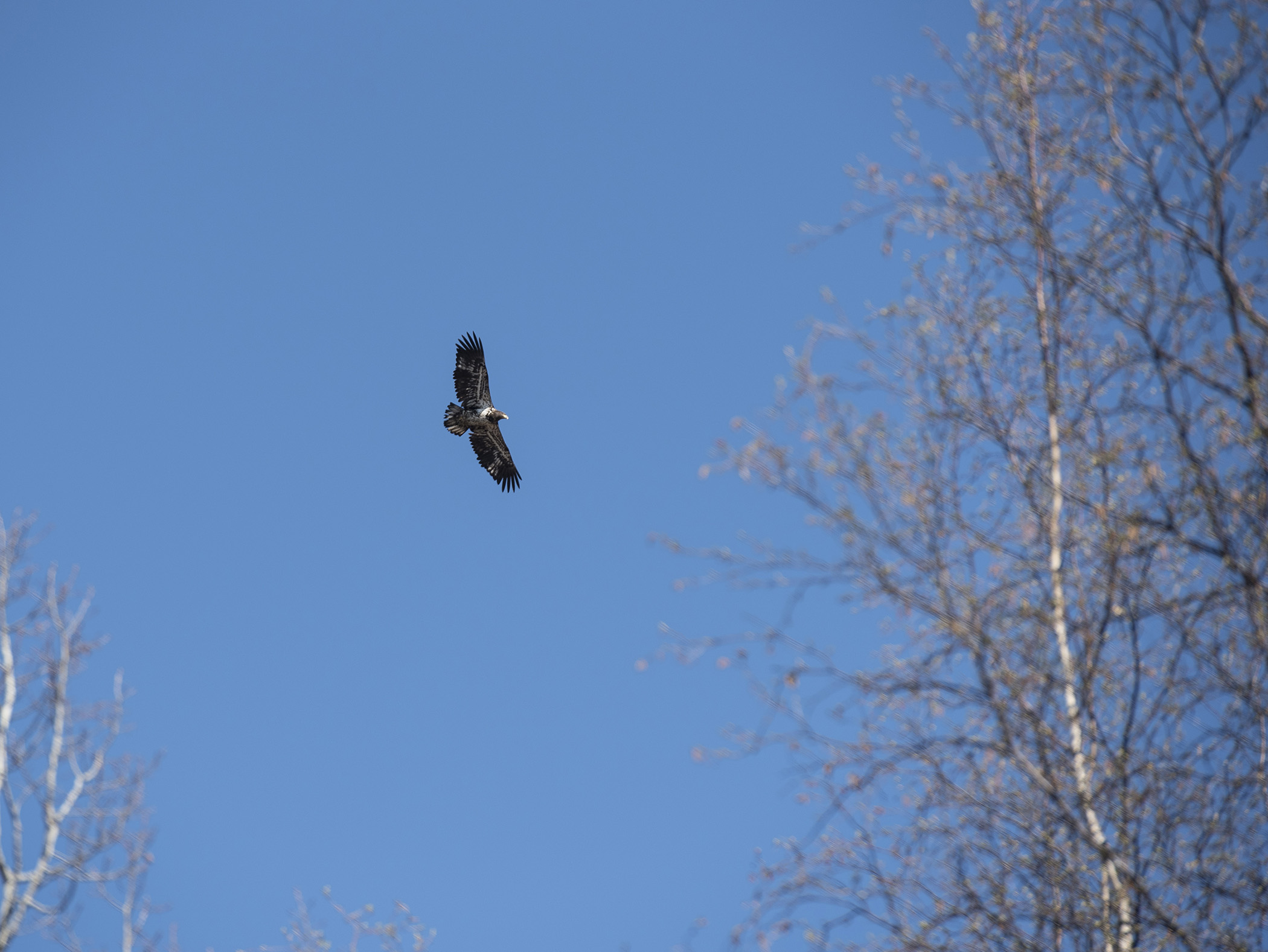 Picture of Juvenile bald eagle on JBER