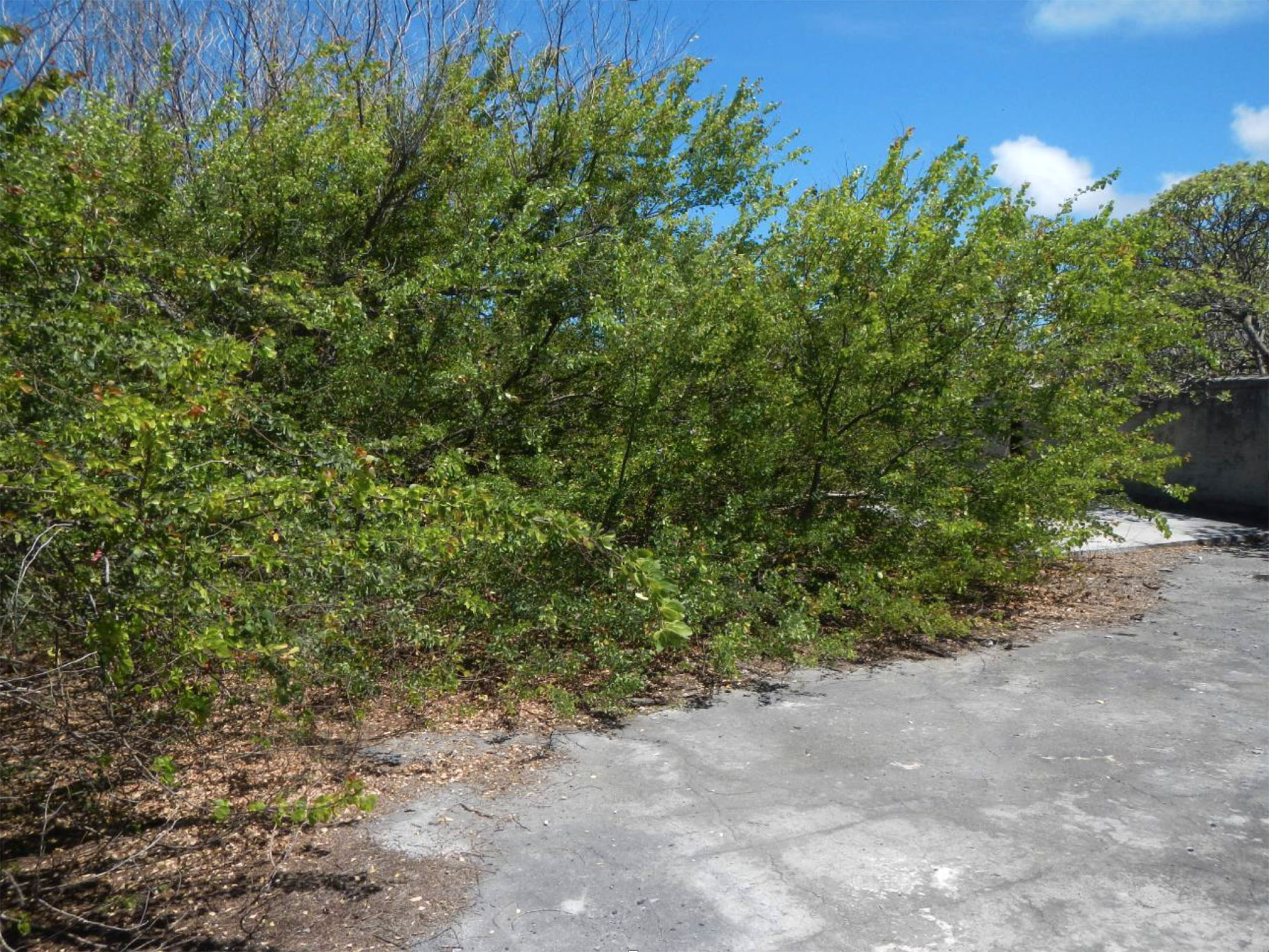 Picture of an Opiuma tree on Wake Island