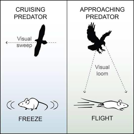 Cruising Predator: Visual sweep, freeze. Approaching Predator: Visual loom, flight.