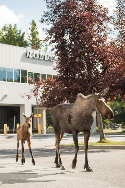 Mama Moose and Calf in the Administration Building Parking Lot