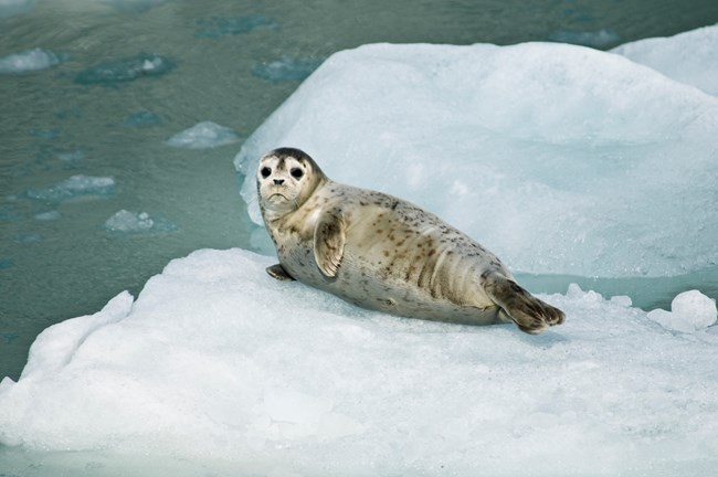 Harbor Seal Pup, photo by National Park Service