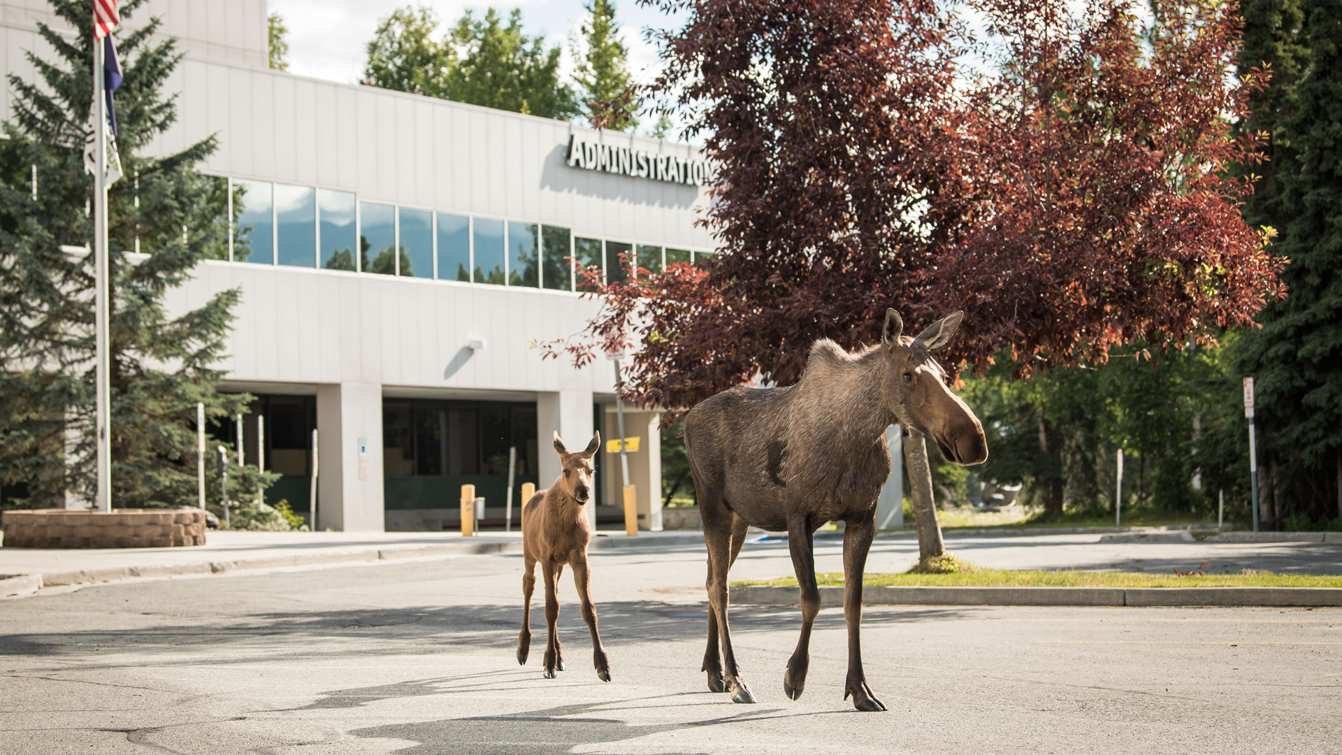 Moose and calf wandering through UAA Campus