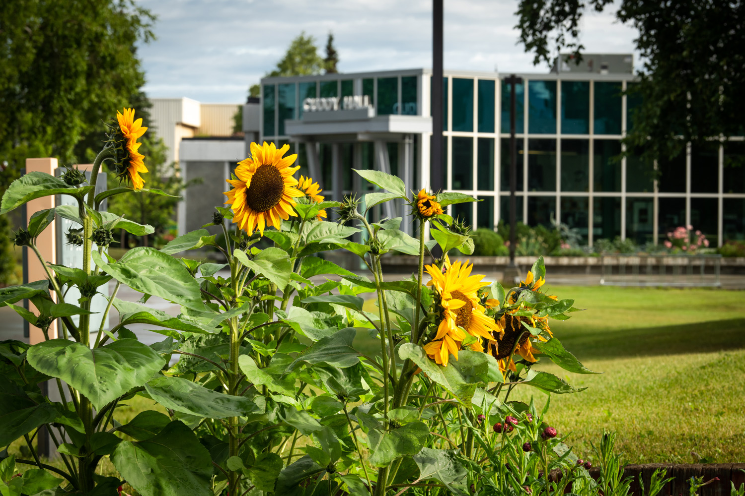 UAA's Lucy Cuddy Hall with sunflowers in the foreground (Photo by James Evans / UAA)