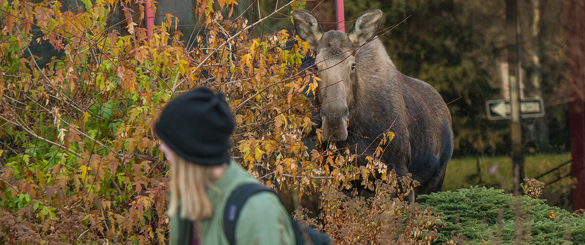 A student looks over their shoulder at a moose on campus.