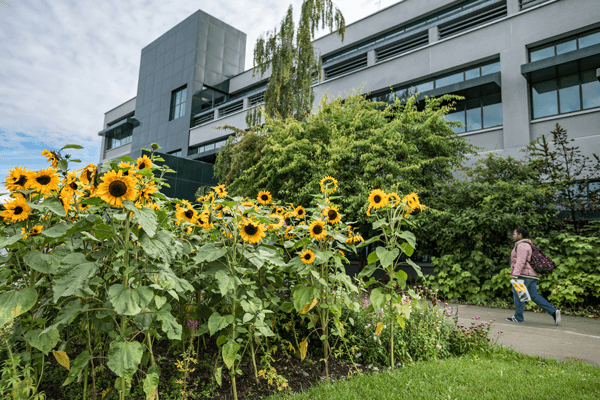Sunflowers growing in front of Rasmusen Hall